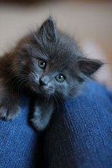 Furry Grey Kitten in Kingwood, Texas