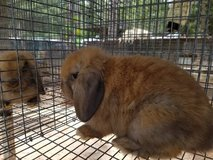 holland lop bunnies in Tampa, Florida