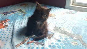 THREE KITTENS FREE TO A LOVING HOME, LITTER TRAINED, 8 WEEKS OLD in Camp Lejeune, North Carolina