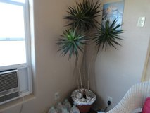 Potted plants (2) in Alamogordo, New Mexico
