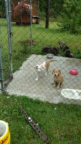 Catahoula and black mouth cur puppies in Fort Polk, Louisiana