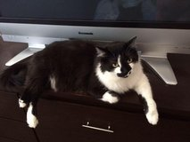 Male long haired cat in need of a good home in Las Vegas, Nevada