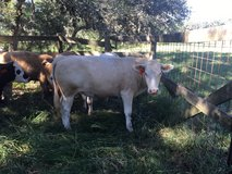 Grass fed/finished Beefalo in Conroe, Texas