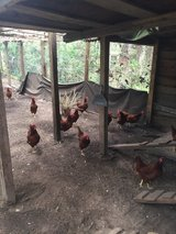 Rhode Island Red chickens in Beaufort, South Carolina