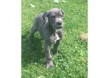 Fhgfhyf Purebred Blue Female Great Dane Puppies For Sale in Duncan, Oklahoma