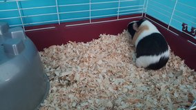 Guinea Pig in Watertown, New York