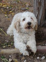 *LOST DOG * Reward! Poodle Terrier w cocker spaniel ears Male dog East side in Fort Bliss, Texas