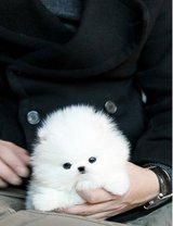 Adorable male and female two teacup Pomeranian puppies available in Lackland AFB, Texas