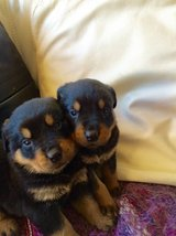 male and female rottweiler puppies in Sugar Land, Texas