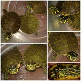 Sweet baby Slider Turtles need good homes in Warner Robins, Georgia