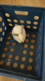 Show/pet Rabbits in The Woodlands, Texas