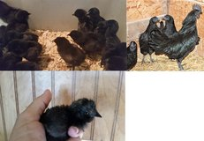 Ayam Cemani Chicks in Aiken, South Carolina