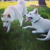 Two Huskies up for adoption in Edwards AFB, California