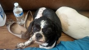 6 yr old male Shih Tzu needs good home ASAP!!! in 29 Palms, California