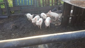 Blue Butt Pigs in DeRidder, Louisiana