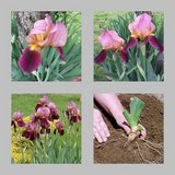 Indian Chief Iris bulbs in Fort Campbell, Kentucky