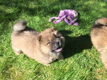 Red Chow Chow Puppy (male) Share Tweet +1 Pin it in Okinawa, Japan