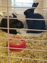 Two young female Rex rabbits in Fort Hood, Texas