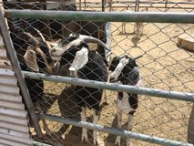 Goats for sale!!! in Yucca Valley, California