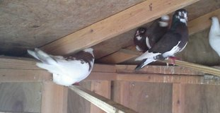 pair of pigeons in Fort Campbell, Kentucky