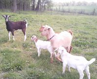 billy goats in Fort Campbell, Kentucky