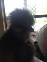 Silkie  chickens One male one female in Beaufort, South Carolina