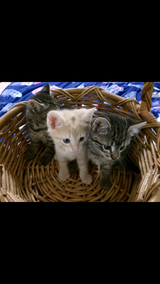 Kittens male and Female in Yucca Valley, California