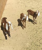 Nubian baby goats in Pioneertown in Yucca Valley, California