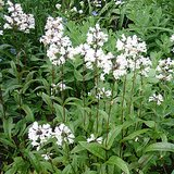 'HUSKER RED' BEARDTONGUE: Potted Perennial Plants in St. Louis, Missouri