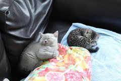 British Shorthair Kittens in Bolling AFB, DC