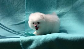 Purebred Pomeranian Puppies available in St George, Utah