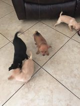 Pomeranian/Min pin mix puppies in Temecula, California