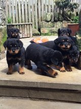 German Rottweiler puppies in Conroe, Texas