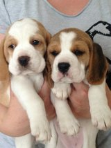 Beagle pups ready to find new homes (702) 690-4725 in Conroe, Texas