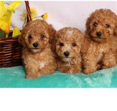 poddle puppies in Conroe, Texas