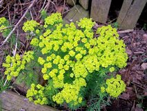 Cushion Spurge in Glendale Heights, Illinois