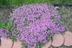 Magic Carpet Thyme Ground Cover in Naperville, Illinois