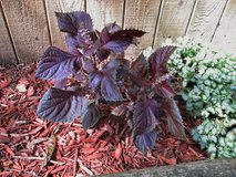Purple Thai Basil (does well in sun or shade) in Bolingbrook, Illinois