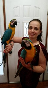 gold and blue macaw parrots for adoption in Yokota, Japan