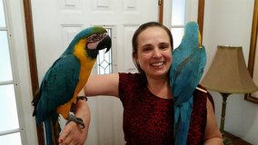 GOLD AND BLUE MACAW PARROTS AVIALABLE in Yokota, Japan
