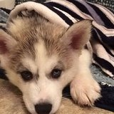 Adorable husky puppy for re-homing in Tunbridge Wells, UK