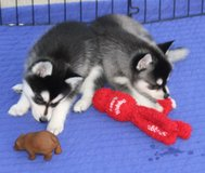 Two beautiful husky puppies for re-homing in Tunbridge Wells, UK