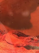 Leopard Gecko with tank, shelving unit and accessories in Elgin, Illinois