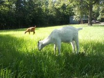 Male Boer mix Goat in Coldspring, Texas