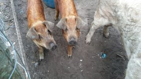 Yorkshire pigs in Beaufort, South Carolina
