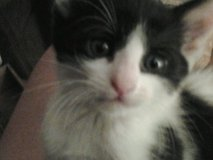 Little One! Male Kitten Looking for Devoted Human in Alamogordo, New Mexico