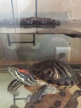 Red Ear Slider Turtle in Lockport, Illinois