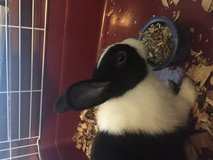 Rabbit to rehome in Fort Riley, Kansas