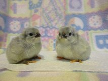 Lavender Orpington Chicks in Glendale Heights, Illinois