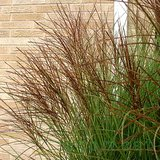 Perennial ORNAMENTAL MAIDEN GRASS in pots MISCANTHUS in Naperville, Illinois